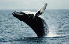 ballenasjorobadas